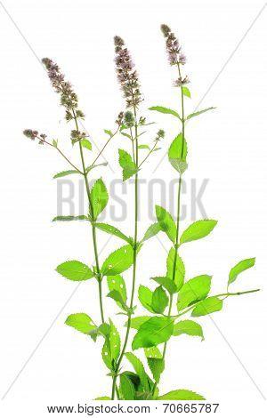 Spearmint (Mentha spicata)