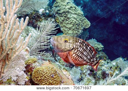 Stoplight Parrotfish (sparisoma Viride)