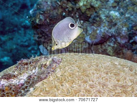 Four-eyed Butterflyfish (chaetodon Capistratus)