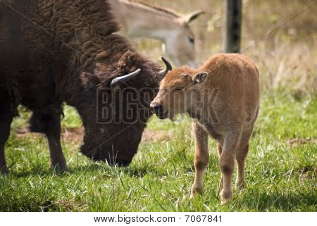 American Bison Showing Affection To Calf