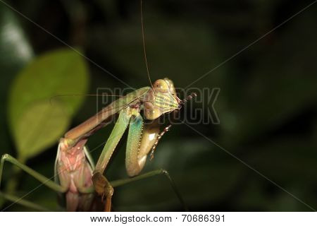 A Female European Preying Mantis, sits on a Night Blooming Jasmine bush waiting for an insect to eat. Preying Mantid's  are an important predator of harmful insects in any garden and are loved by all