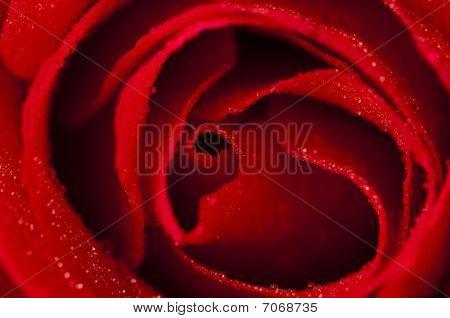 Rosa vermelha.