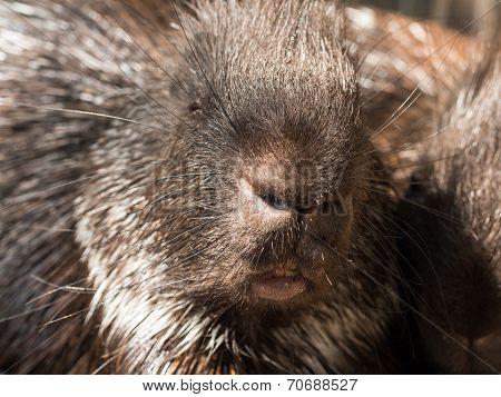Malayan Porcupine Closeup Face