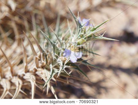 Blepharis ciliaris, desert plant