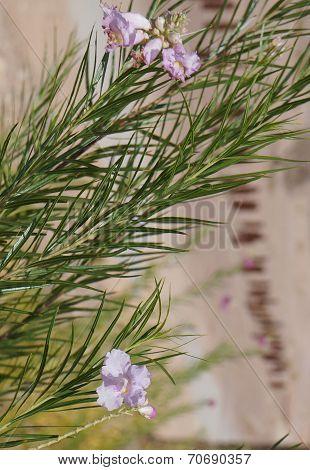 Desert willow (Chilopsis linearis) blossom
