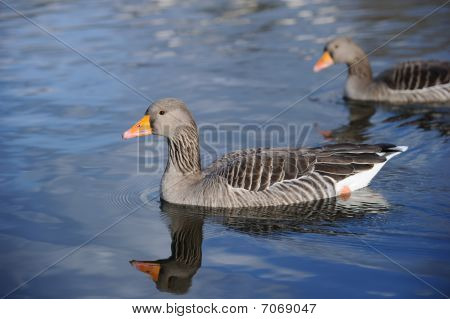 Greylag Geese Swimming On A Lake
