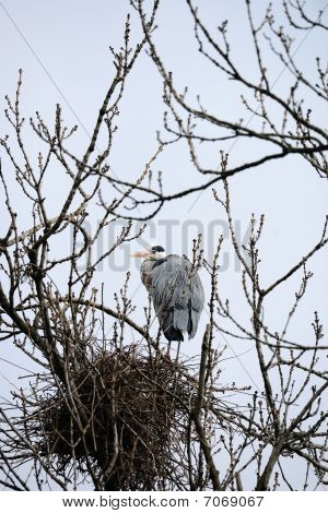 Grey Heron By Nest In A Bare Tree Casting A Beady Eye On The Viewer