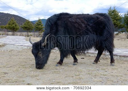 alpine yak in Shangri-la coutry