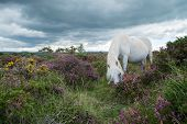 pic of pony  - Wild white pony horse grazing on flowering heather purple flowers in moors step in Devon Dartmoor National Park - JPG