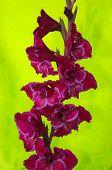 image of gladiolus  - Violet flowering gladiolus on light green background - JPG