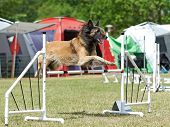 image of belgian shepherd  - Belgian Shepherd in a jump on a agility course - JPG