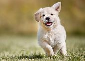 stock photo of labradors  - Seven week old golden retriever puppy outdoors on a sunny day - JPG