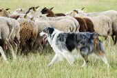 image of herding dog  - Purebred border collie herding a flock of sheep on a summer day - JPG
