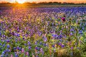 picture of bluebonnets  - Dawn breaks over a field of bluebonnets in rural Texas  - JPG
