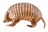 stock photo of armadillo  - a stuffed armadillo isolated over a white background
