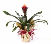 stock photo of bromeliad  - Bromeliad isolated on white background packed as gift - JPG