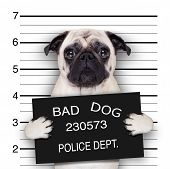 stock photo of delinquency  - funny cute pug holding a placard while a mugshot is taken - JPG