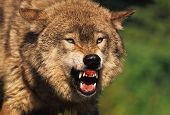 picture of animal teeth  - a grey wolf snarling with teeth showing