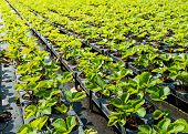 picture of strawberry plant  - Young strawberry plants ready to plant in a strawberry nursery - JPG