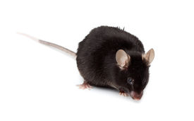 stock photo of fancy mouse  - Fancy Black Mouse in studio against a white background - JPG