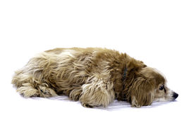 foto of cockapoo  - A cockapoo lying on the floor isolated against a white background - JPG