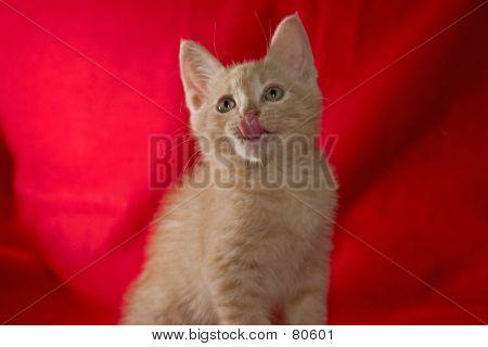 Blond Kitten