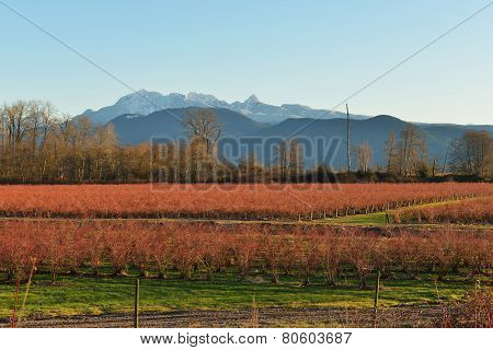 Fraser Valley Blueberry Field And Golden Ears Mountain