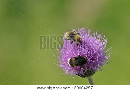 Bumblebee, floqwer. Food In The Form Of Nectar. Moving Pollen.