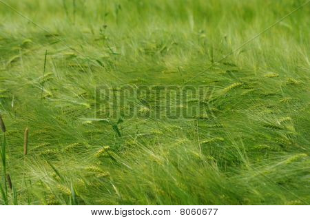 Field of Common Wheat