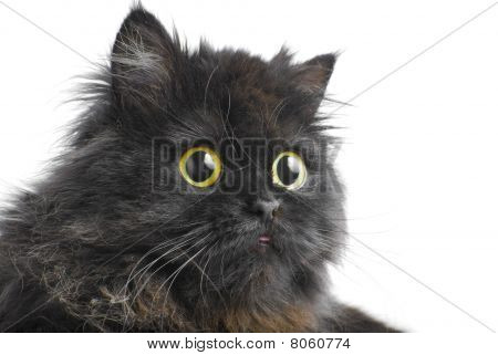 Face Of The Persian Cat | Isolated