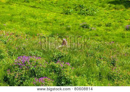 Marmot in an alpine meadow