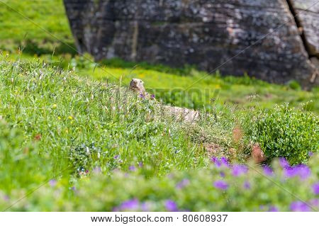 Marmot peeps out of the hole
