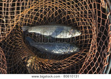trout in the fishing net