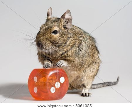 Funny Hamster With Big Die Block