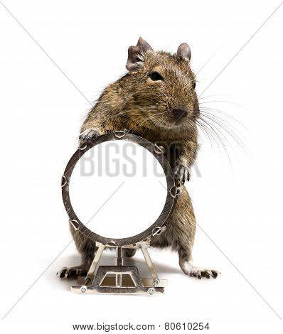 Small Rodent With Big Drum