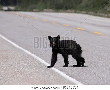 Young Black Bear Crossing the Road