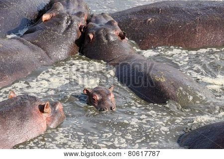 Baby Hippo In The Group