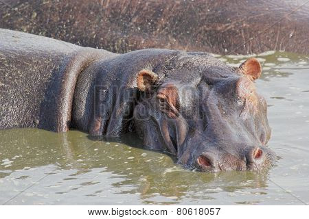Portrait Of A Hippo In A Pool