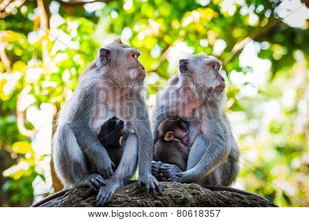 Long-tailed Macaque Monkies Breastfeeding Their Babies