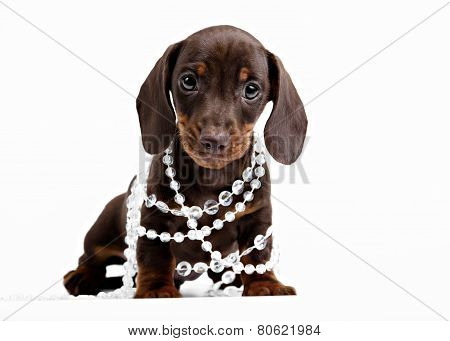 puppy Dachshund in beads on white background