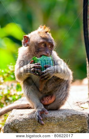 Young Long-tailed Macaque Monkey Eating