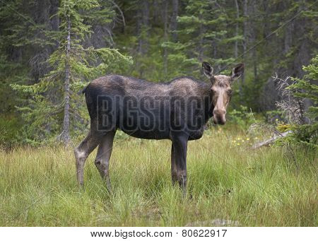 Young Elk In The Forest. Alberta. Canada