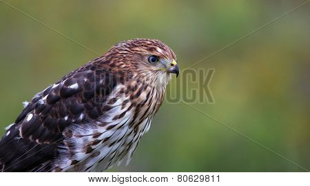 Cooper's Hawk Profile
