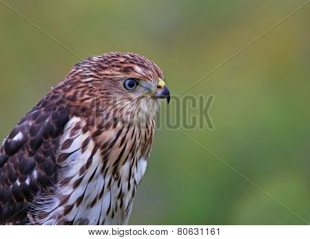 Cooper's Hawk Headshot