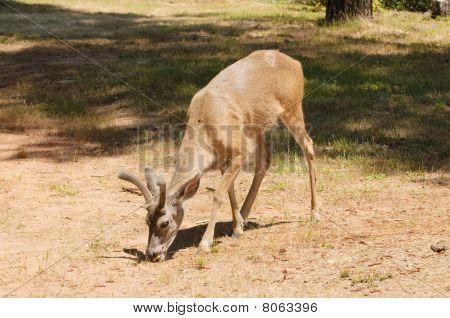 Male Black-tailed Deer