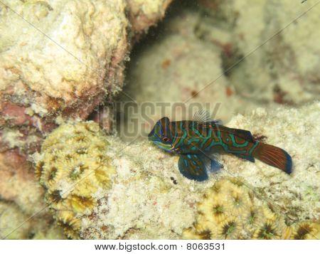 Lone Mandarinfish