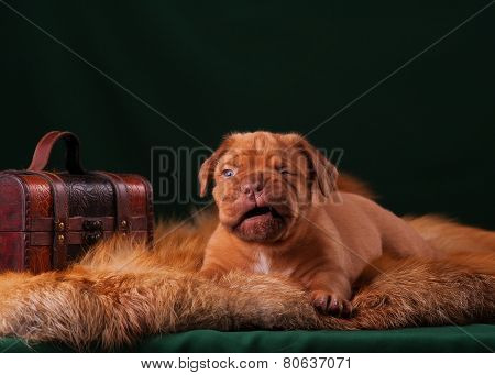 red puppy lying on a fur coat and winks