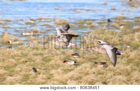 Greylag Geese (Anser anser) in Flight