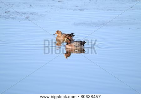 Pair of Widgeon (Anas penelope)