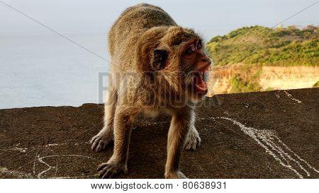 Monkey screaming in Uluwatu, Bali, Indonesia